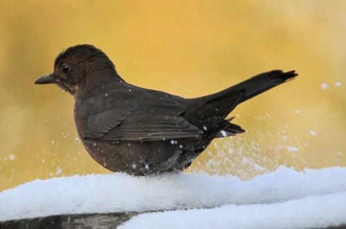 Vogels Nederland Tuin : Vogels spotten vogelsoorten register pimpelmees